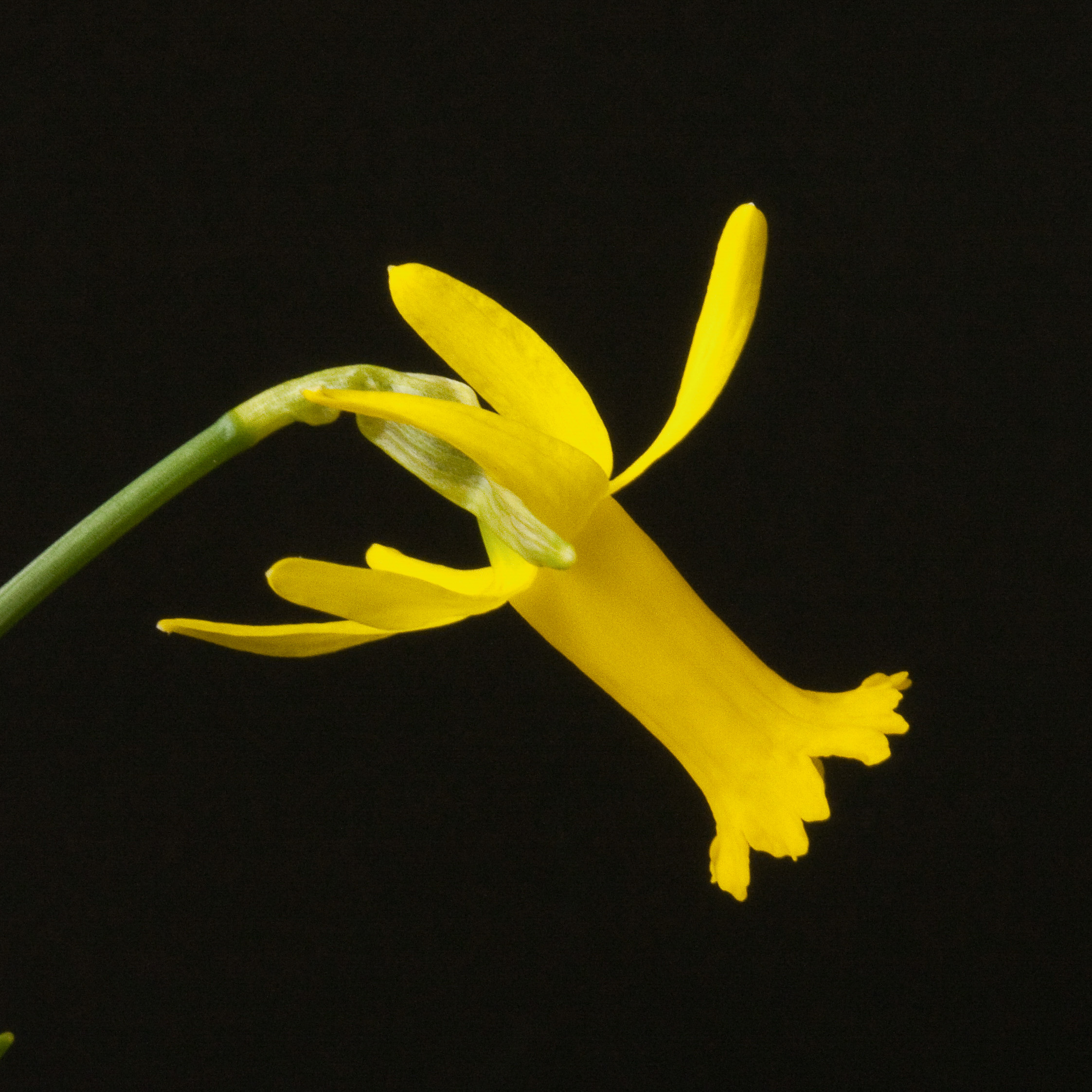 Narcissus Wee Nod angle-2.jpg