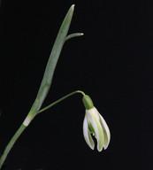 Selina Cords Seedling.jpg
