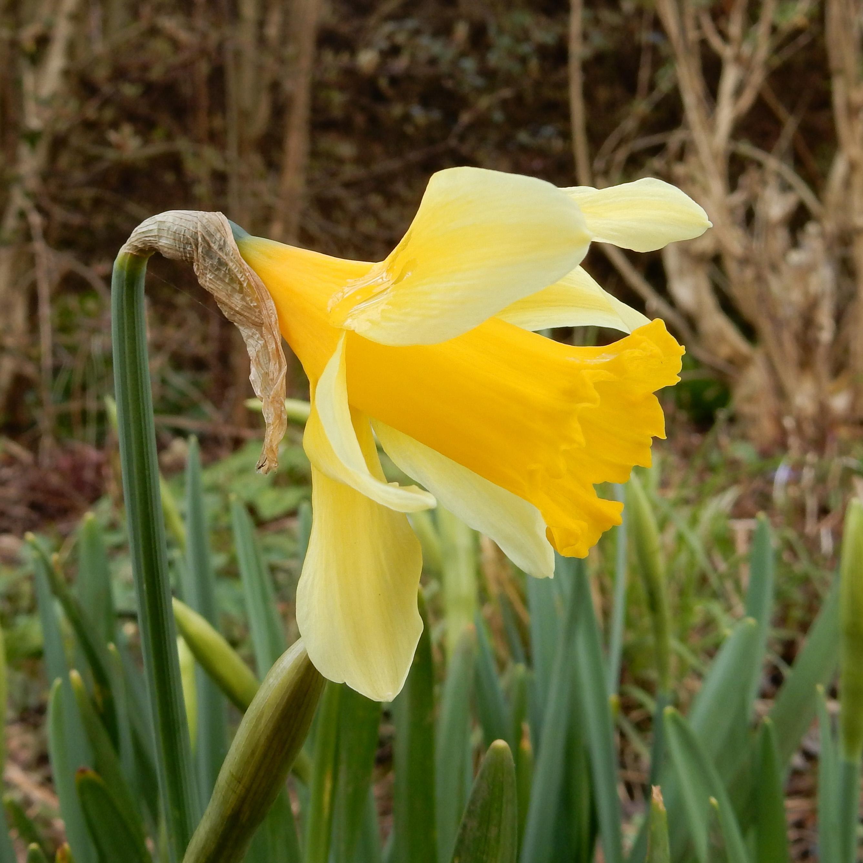 Narcissus x koshinomurae.jpg