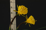 bulbocodium nivalis (Braganca) close rul