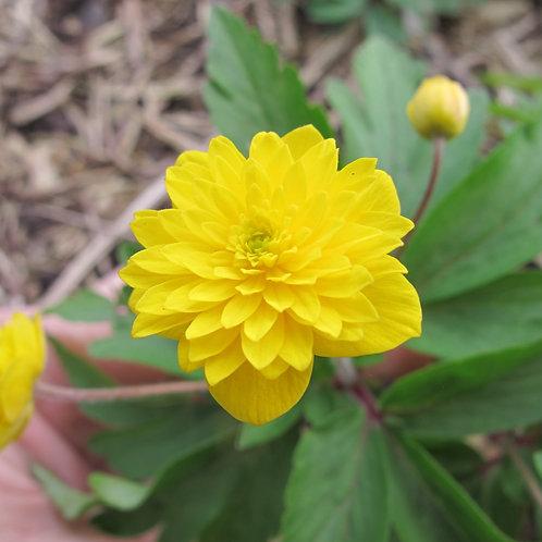Anemone ranunculoides Aureus