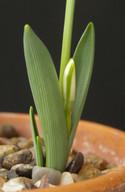 koenenianus X fosteri Leaf.jpg