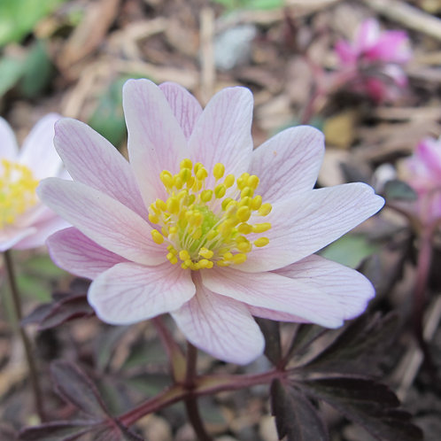 Anemone nemorosa Evelyn Meadows