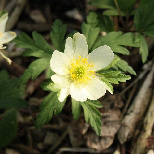 Anemone x lipsiensis Stiby