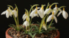 Galanthus Dryad Gold Bullion pot.jpg