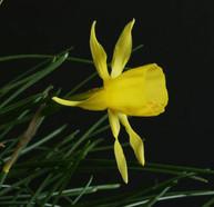 bulbocodium tenuifolius x triandrus clos