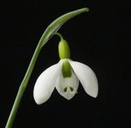 gracilis Light Ovary.jpg