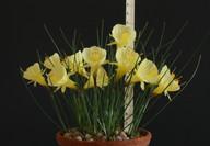 bulbocodium paucinervis rule.jpg