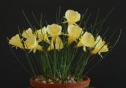 bulbocodium paucinervis.jpg