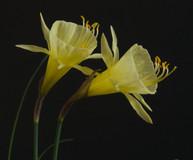 bulbocodium genuinus x jessamy _1 close.