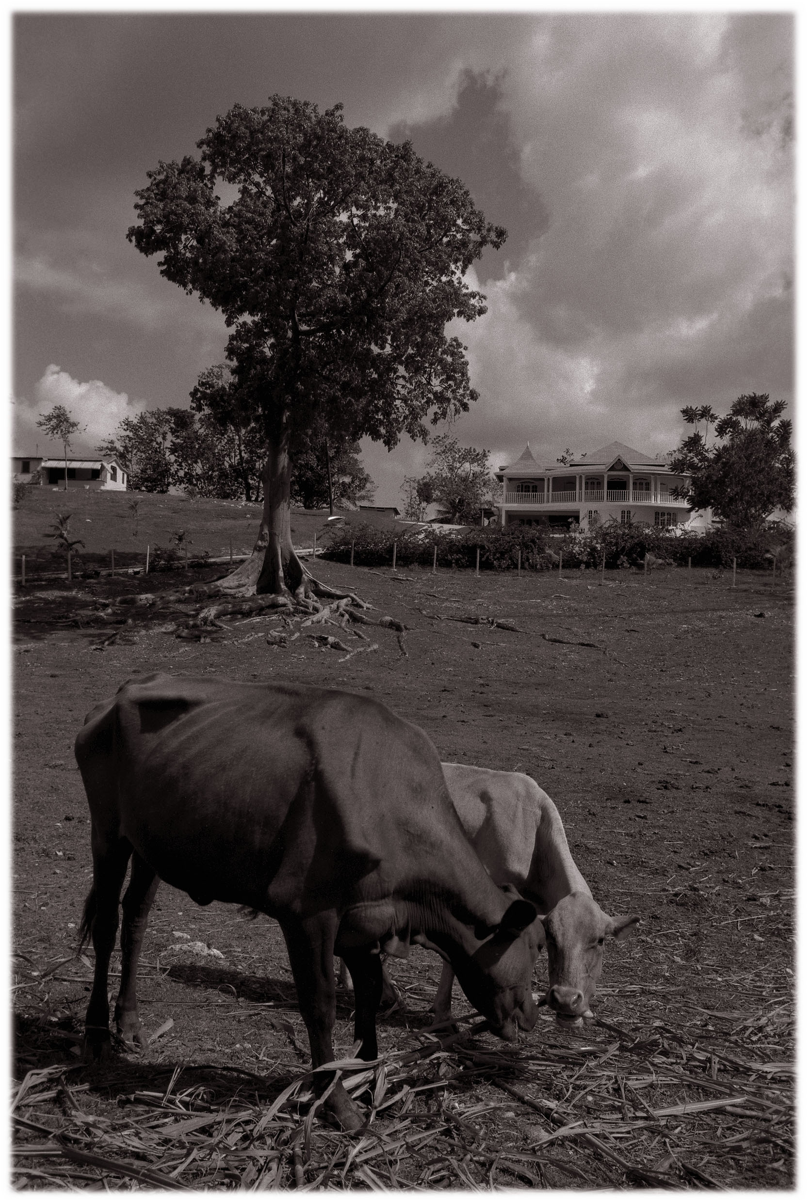 cowsonfarm