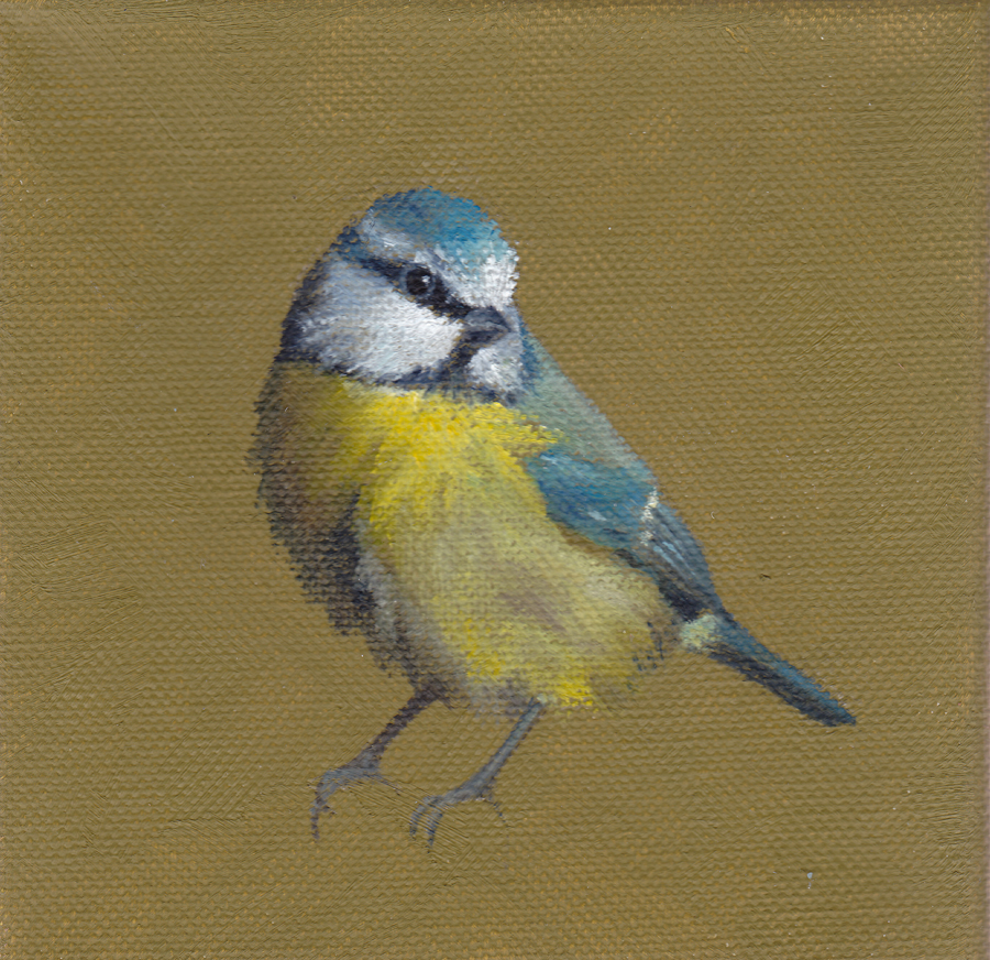 Blue Tit on Olive