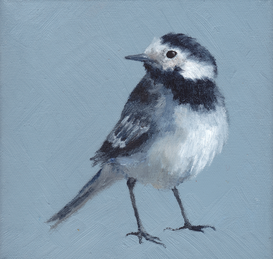 Pied Wagtail on Blue