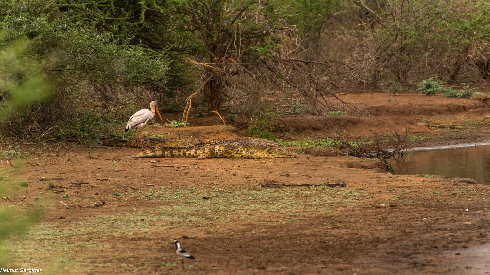 Der Storch scheint dem Krokodil egal zu sein