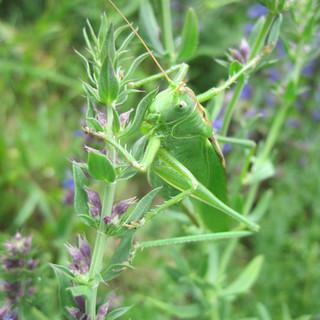 La grande sauterelle verte sur l'Hysope