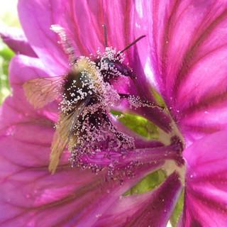 Bourdon butinant une fleur de Mauve