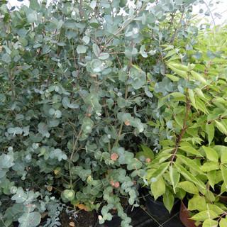 Eucalyptus et Tetradium