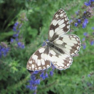 Papillon demi deuil sur Hysope
