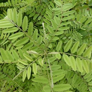 Amorpha