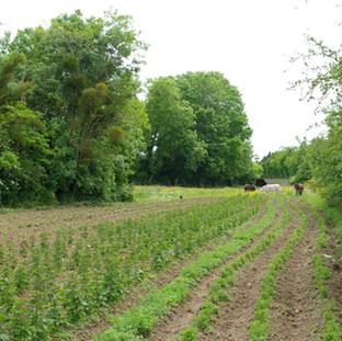 Plantation 2015, Menthe poivrée, Agastache anisée, Menthe pouliot, Marjolaine, Fraise des bois