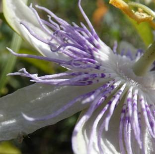 Fleur de Passiflore