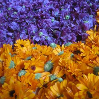 Fleurs de Souci et Mauve récoltées