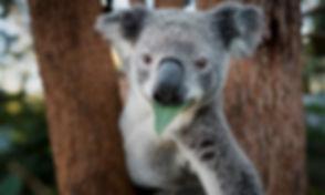 img-koala-eating-leaf-queensland-1000px.