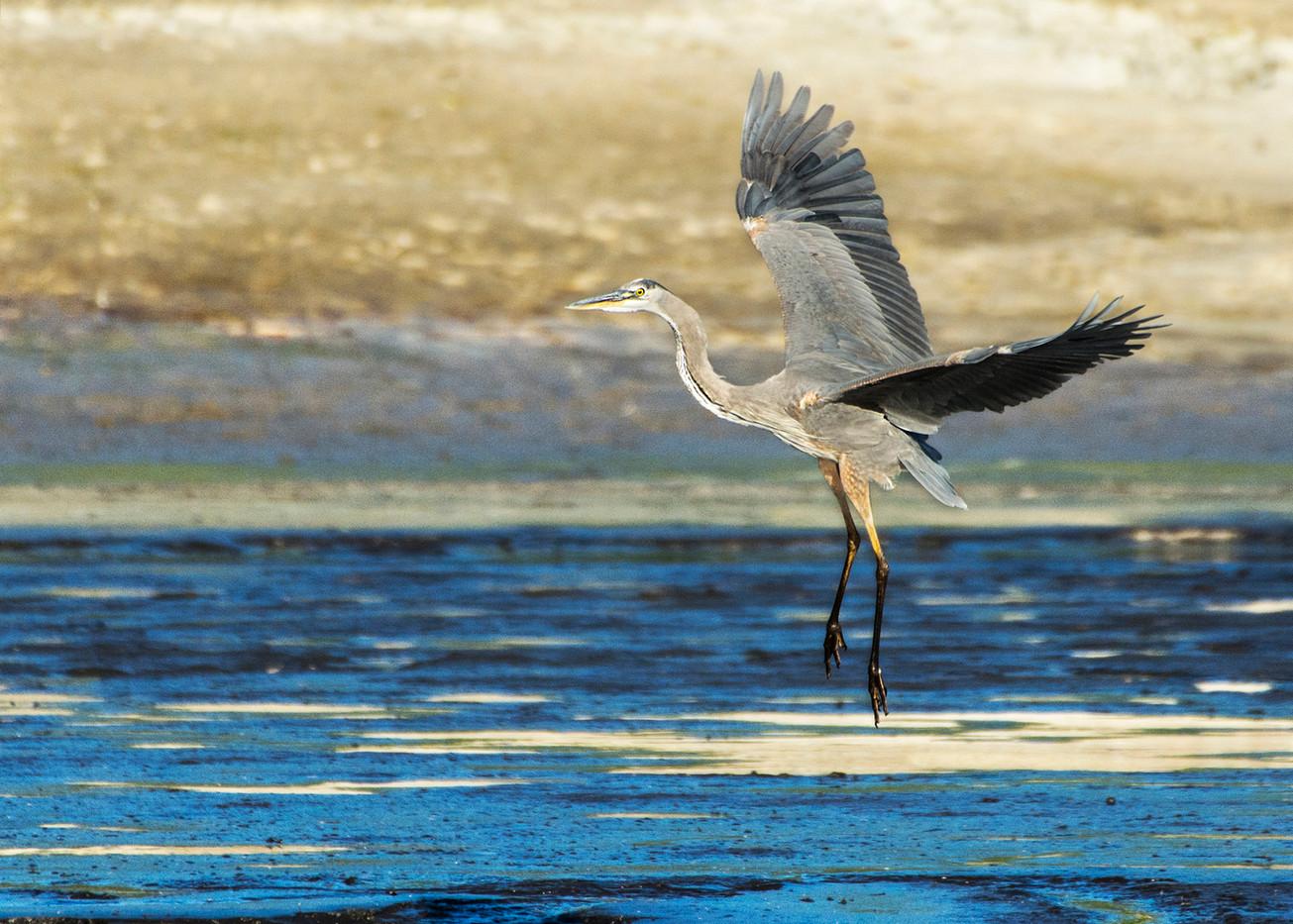 Great Blue Heron Lands on Rosemary Lake
