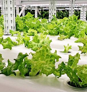 沙律菜•水耕菜種植栽培•素食•本地生產  新鮮蔬菜•香草•營養食譜•無農藥無激素,Salad•Vegan•Local Vegetables & Herbs•Vegan recipe•Vegetarian•Hydroponics•Hong Kong Pesticide-free•Local Produce Including Kale•Lettuce•Arugula•Cabbage