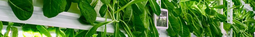 i-Farmed•香港科農舍•水耕菜種植栽培
