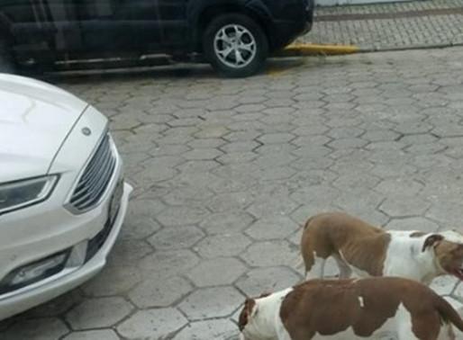 Donos dos pitbulls que atacaram e mataram cães serão interrogados pela polícia Civil