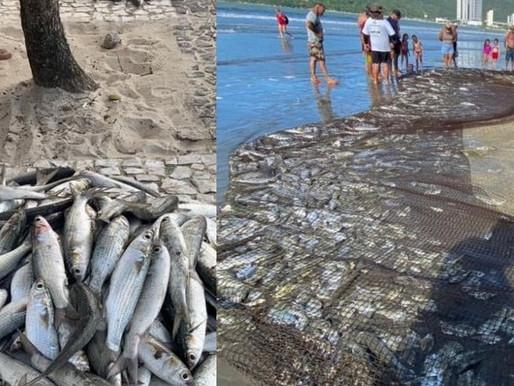 Pescadores capturam 350 tainhotas na praia central de Balneário Camboriú