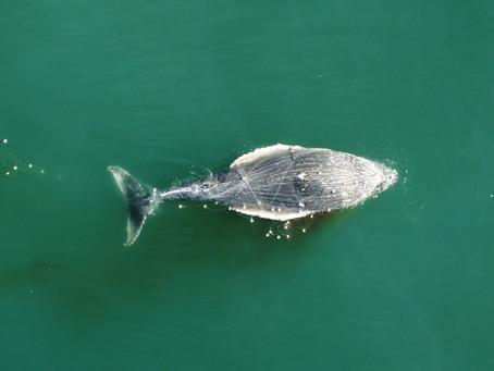 Baleia presa em rede de pesca encalha e morre em Praia de Florianópolis