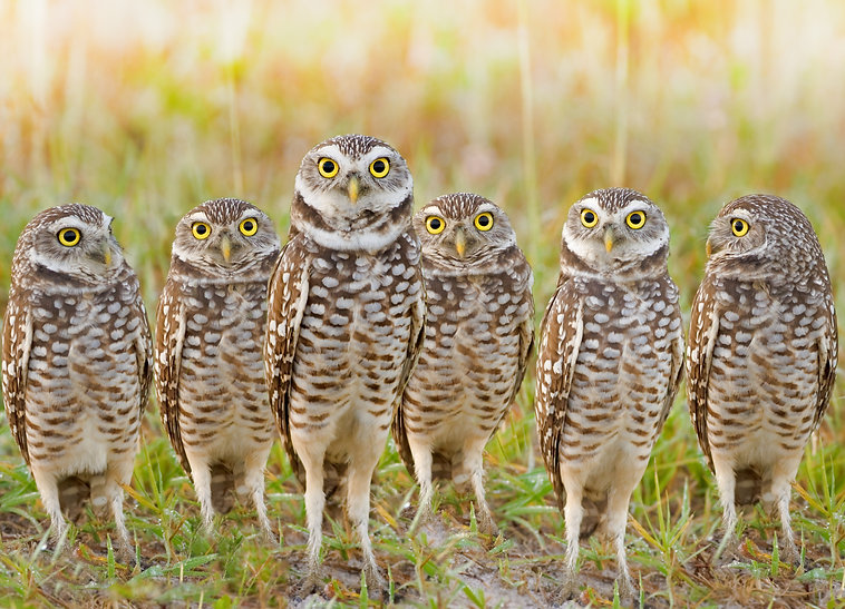 burrowing-owls-parliament.jpg