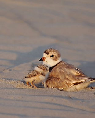 Piping-Plover-w-chicks-Cape-May-NJ-July-