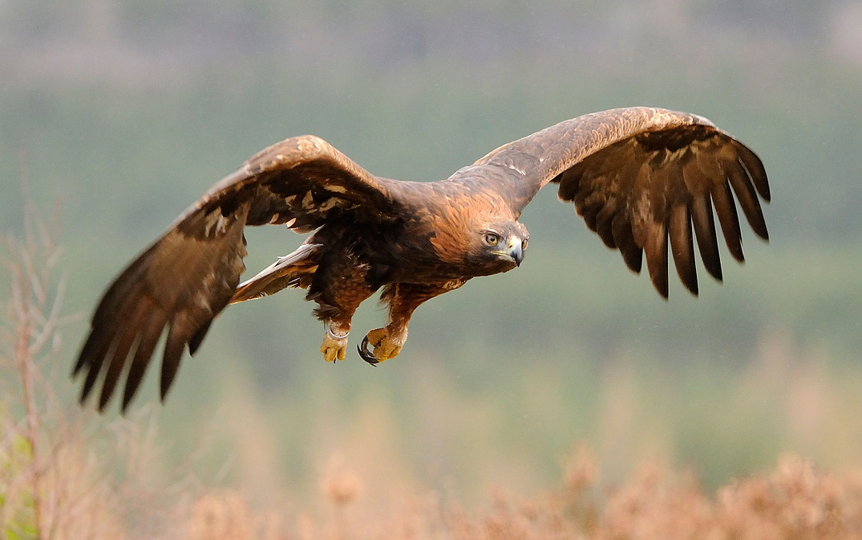13693344_Golden_Eagle_Aquila_chrysaetos_