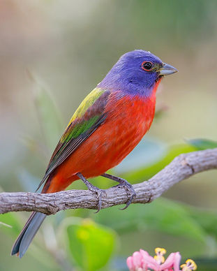 h_a1_7443_5_painted-bunting_julie_torkom