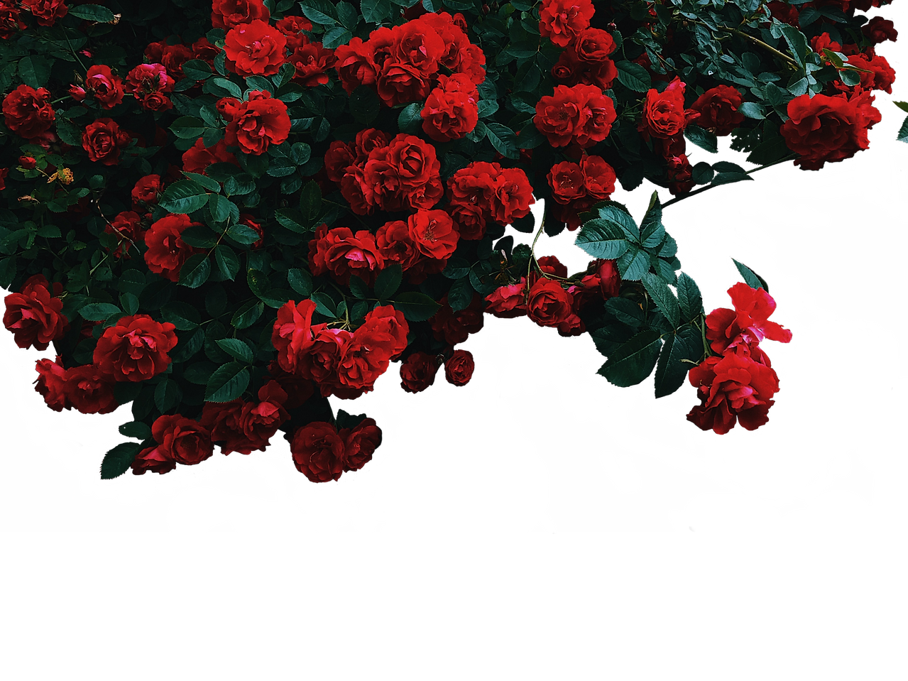 WH%202021%20Bkg%20Roses_edited.png