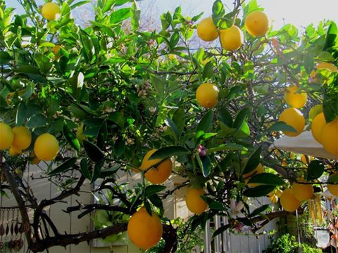 tangerine tree aloe aloe