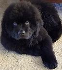 Zoey-pup-10-weeks.jpg
