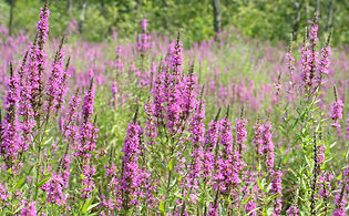 Lythrum_salicaria,_purple_loosestrife_5.