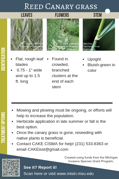 Reed Canary Grass Identification