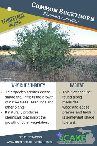 Common Buckthorn Description