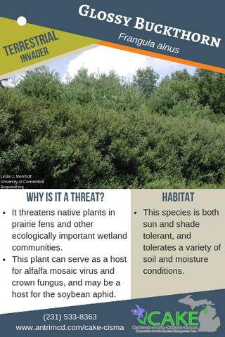 Glossy Buckthorn Description