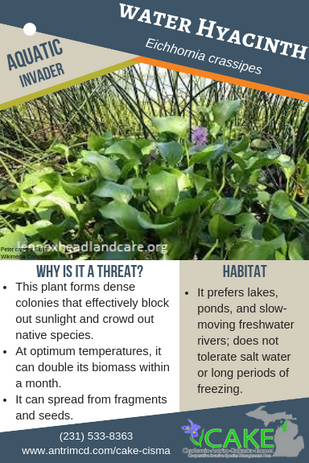 Water Hyacinth Description