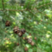 eastern-hemlock-tsuga-cones-nature-conif