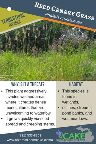 Reed Canary Grass Description