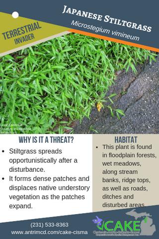 Japanese Stiltgrass Description