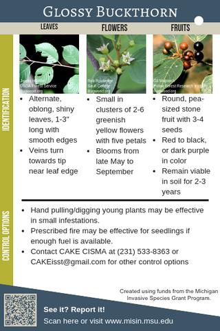 Glossy Buckthorn Identification