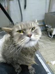 Il gatto può essere toiliettato...ma abituarlo sin da piccolo facilita il suo approccio con l'acqua!